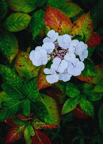 blossom white petaled flower geranium