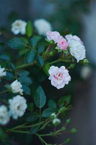 blossom white petaled flowers geranium