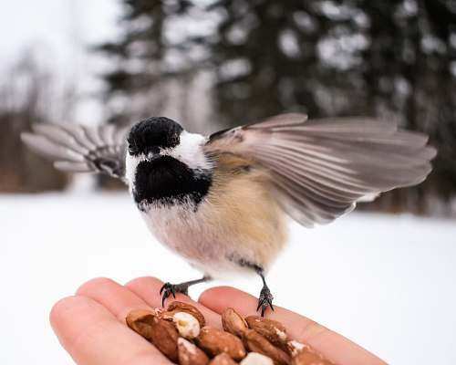 nut brown, black, and white bird on person's palm athabasca