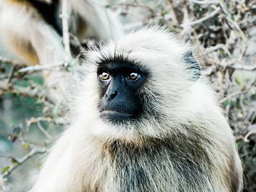baboon black faced monkey close-up photography animal