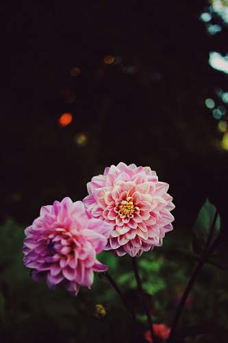 flower macro photography of blooming pink petaled flowers blossom