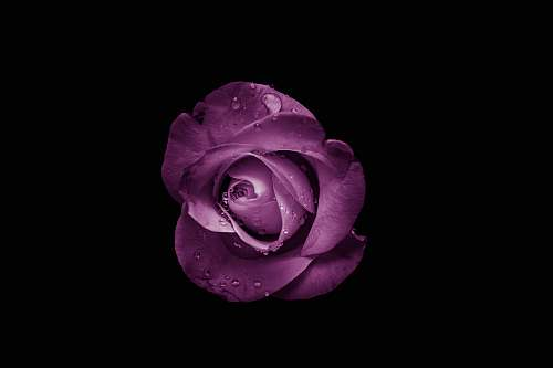 photo flower purple rose flower blossom free for commercial use images