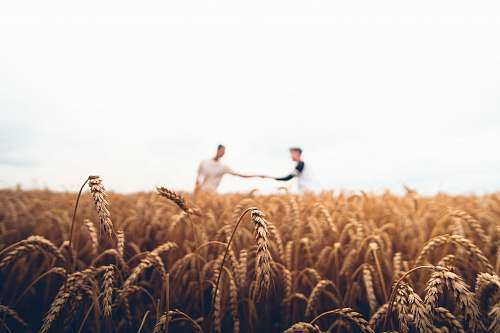 wheat two persons standing on wheat field vegetable