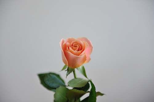 flower pink rose closeup photography blossom