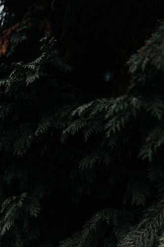 tree green leafed tree conifer