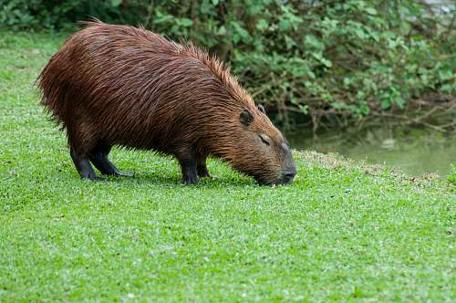 wildlife beaver eating grass mammal