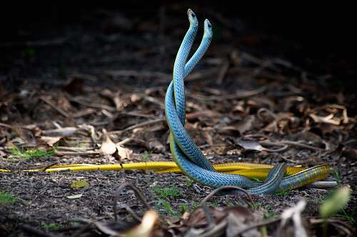 snake two blue-and-yellow snakes mating near dried leaves reptile
