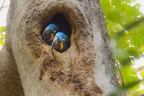 nest two small-beaked blue bird in tree trunk pantanal