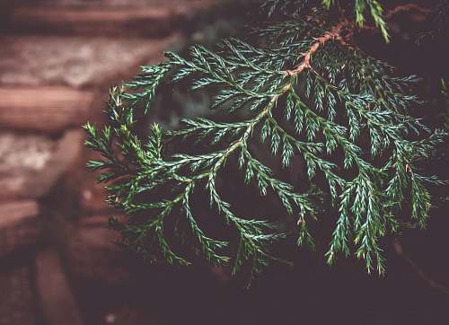 conifer closeup photo of green leaf plant flora