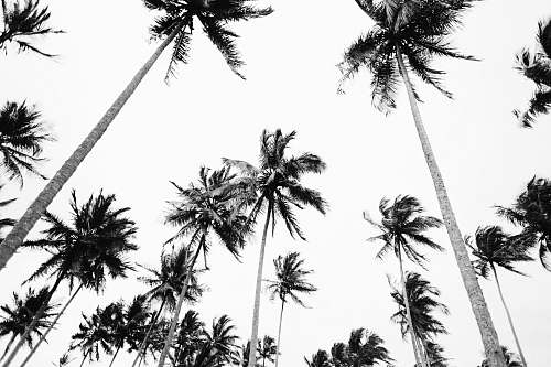 tree low angle photography of coconut trees arecaceae
