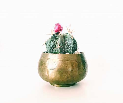 flower pink petaled flower cactus plant on brass-colored pot cactus
