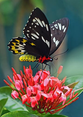 black yellow butterfly over red flower