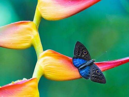 free for commercial use blue and black butterfly on pink and yellow flower images