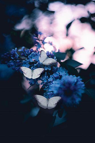 photo of three butterflies pollinating on purple petaled flowers