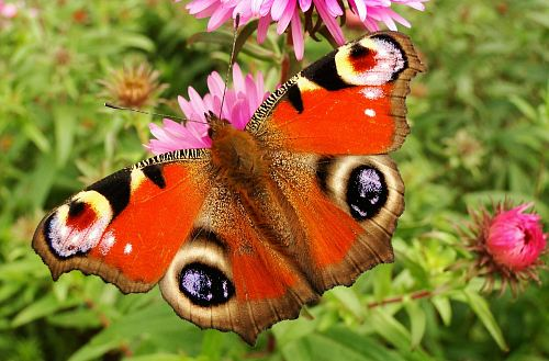 photo red and brown moth perching on pink flower during daytime free for commercial use images