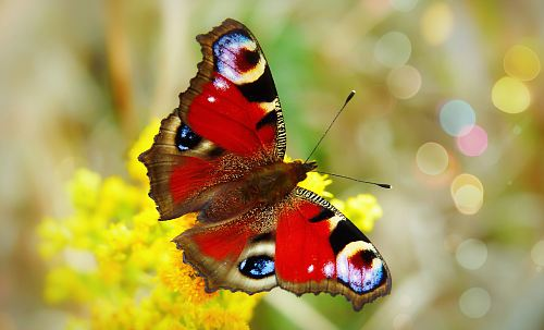 free for commercial use red and multicolored butterfly perch on yellow petaled flower images