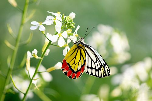 white, yellow, and red butterfly