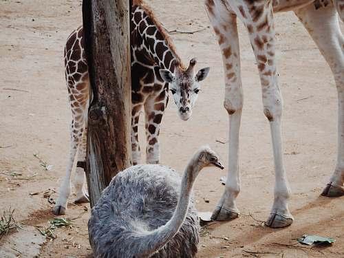 wildlife baby giraffe looking at the ostrich giraffe