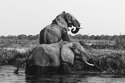 black-and-white grayscale photo of two elephants on body of water elephant