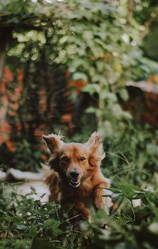 dog long-coated tan puppy walking on grass pet