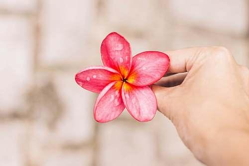 blossom person holding pink 5-petal flower flora