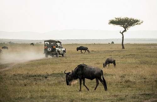automobile wildebeest on open field car
