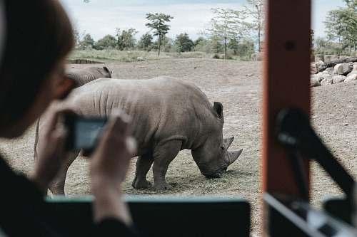 human person inside vehicle capturing grey rhinoceros on ground during daytime wildlife