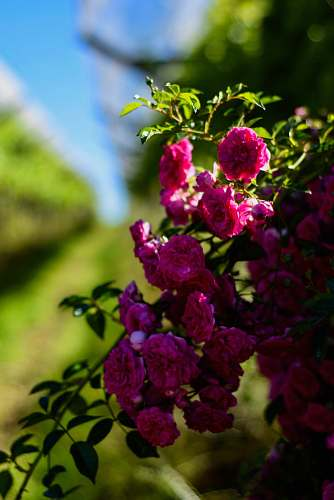 flower closeup photo of pink cluster petaled flowers blossom