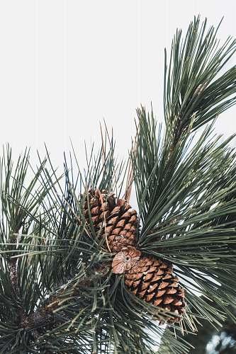 tree brown pine cones pine