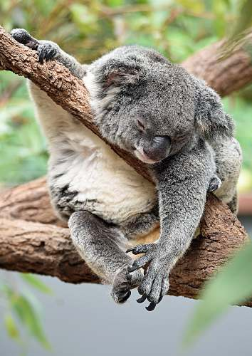 koala koala on bough wildlife