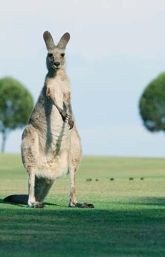 animal brown goat standing on green grass kangaroo