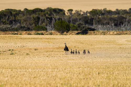field emu with chicks on brown field during daytime perenjori