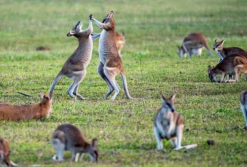 animal kangaroos on grass field kangaroo