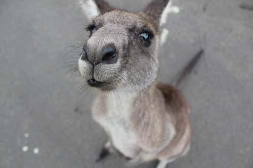 animal photo of gray kangaroo kangaroo