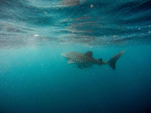 sea whale shark swimming underwater fish