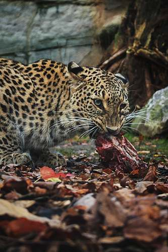 wildlife leopard eating raw meat animal