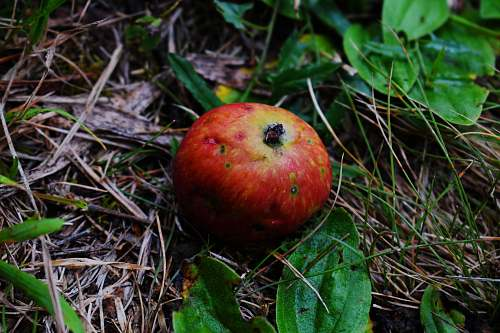 fruit red apple fruit on brown dried leaves food