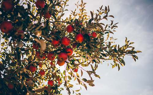 apple apple tree over sun light and clouds flora