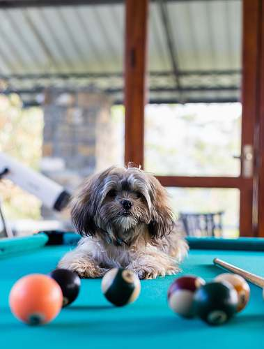 room brown dog on pool table indoors