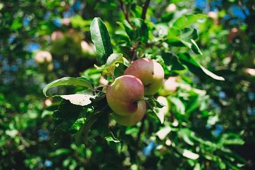 fruit red apple fruit tree during daytime apple
