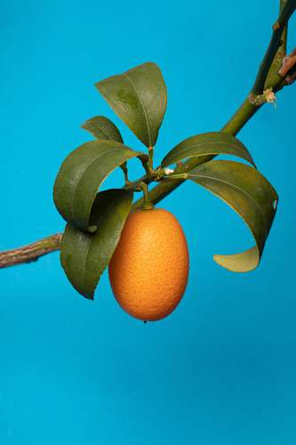 fruit orange fruit on tree branch plant
