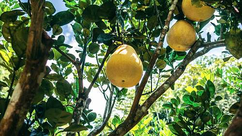 citrus fruit pear fruit plant