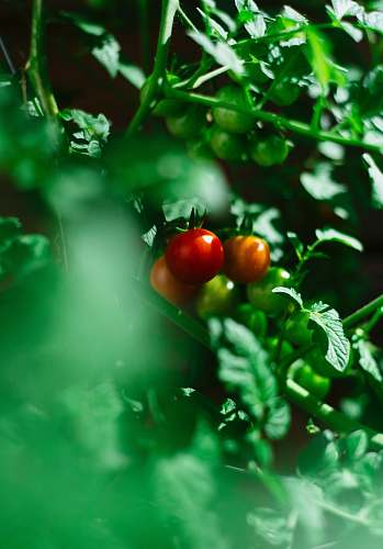 apple red tomato fruits food