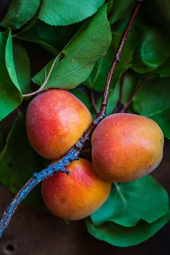 photo food three peach fruits fruit free for commercial use images