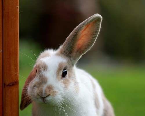 rabbit white and brown rabbit looking at camera bunny
