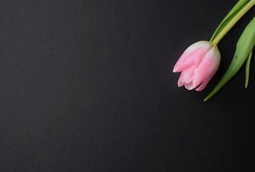 flower pink tulip blossom