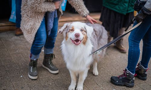 photo adult white and brown Australian shepherd in between persons free for commercial use images