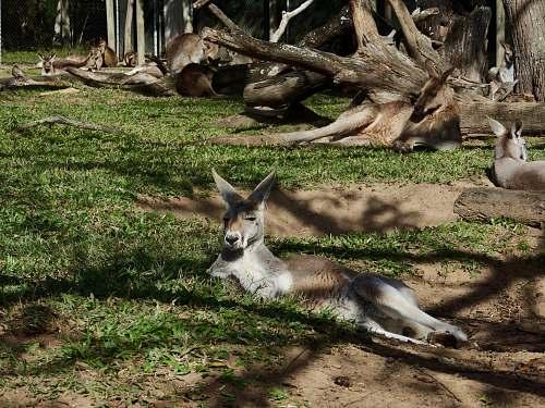 wildlife resting kangaroos kangaroo