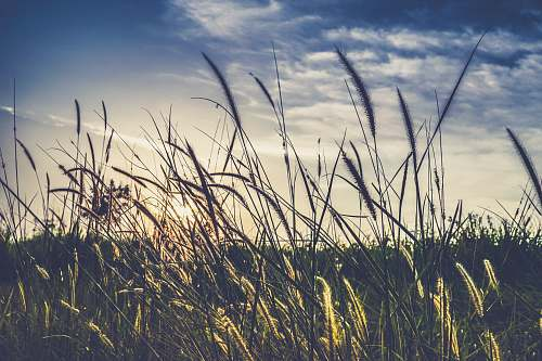 nature landscape photography of green grass field wheat