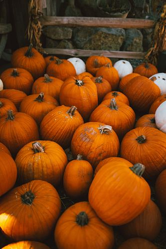 photo orange pumpkins free for commercial use images